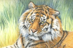 Le tigre - 20 x 30