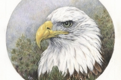 aigle - Pygargue à tête blanche - 30 x 30 cm