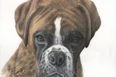 Boxer - Portrait sur commande