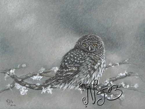 Chevechette owl